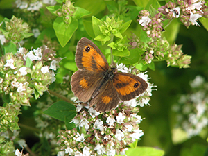 Gatekeeper on Oregano
