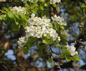 Perry pear blossom