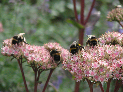 Sedum 'Purple Emperor' and squadron of White-tailed bumblebees