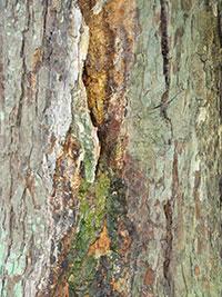 Canker on mature Horse Chestnut