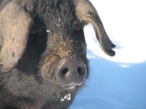 Large Black Pig, Winter 2008/9