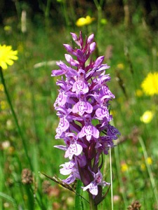 Orchid in Archie's meadow mix