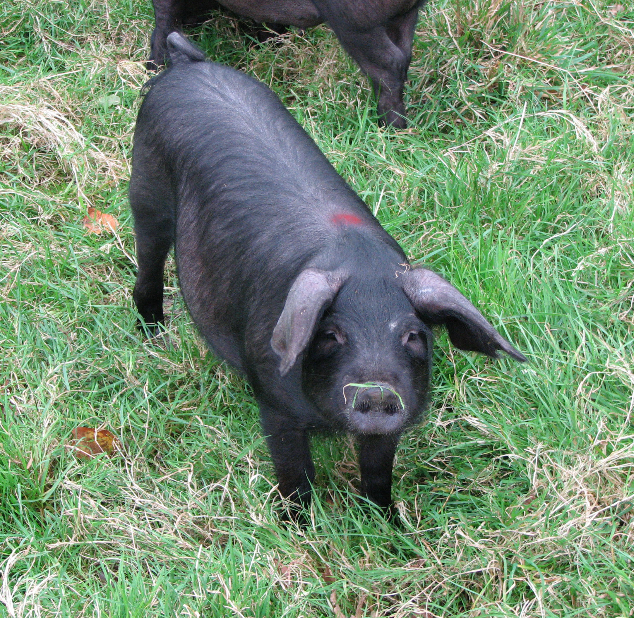 Large Black Piglets | www.pixshark.com - Images Galleries ...