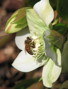 Honeybee and Hellebore