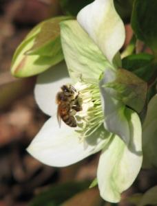 Honeybee and Hellebore