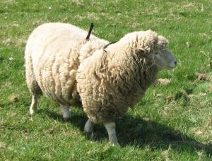 Poll Dorset Ram