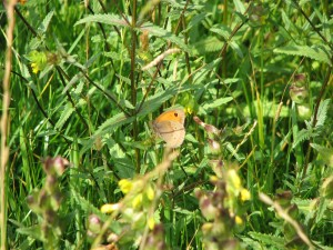 Meadow Brown in Rattle