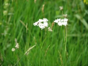 Rare British Plants