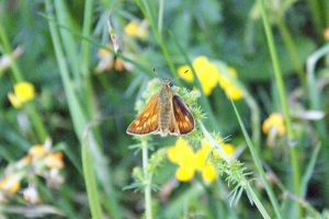 Large Skipper at Carymoor