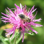 Large Solitary Bee and Knapweed